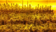 Man arrested following discovery of large cannabis farm in Kensington