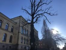 Historiskt träd måste fällas
