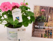 Första Fairtrade-märkta Pelargonen i Sverige