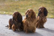 Nyårsfyrverkeri – många hundars största rädsla