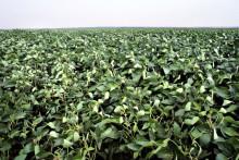 Sojadialogen redovisar inköp av mer än 250 000 ton ansvarsfullt odlad soja