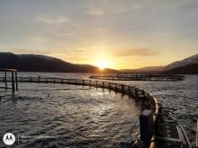 Effekt og fiskevelferd ved kombinasjon rensefisk og luseskjørt (EFFEKTIV)