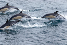 Fred. Olsen Cruise Lines partners with marine conservation charity ORCA on an exceptional voyage to the Azores and Iceland in Spring 2022