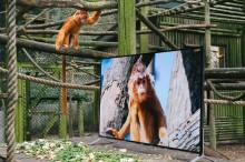 Lemuri e colobini guardano una TV 4K che riproduce immagini identiche a quelle reali all'interno del programma di  reinserimento in natura