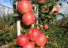 Svenska äpplen året runt!