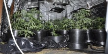 Woman and boy arrested and cannabis farm dismantled following enquiries in Speke