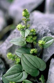 Långlivad växt ger nya upptäckter om åldrande