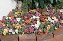 Månadens blomma – juni 2008