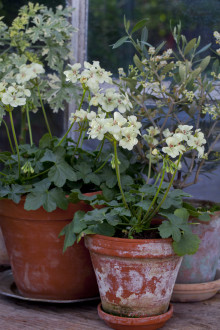 Årets Pelargon 2012:  Pelargonium ´First Yellow´