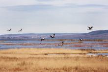 Trandansbesökarna omsätter 53 miljoner i de tre kommunerna runt Hornborgasjön