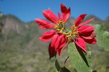 Vårda din julstjärna och få en fin bladväxt, och kanske till och med en ny blomning nästa jul!