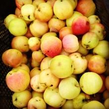 2013 års äpplen. Brännland Iscider 2014