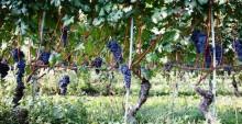 En vinflaskas väg genom Europa