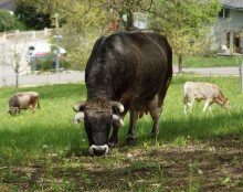 """""""Like a 'Girl's Gang'"""". Quite Popular: the Small Herds of Cows and Sheep in the Goetheanum Park"""