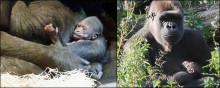 Första gorillahonan att födas i Sverige