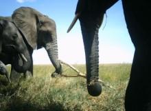 Forskarbloggen: Crocodile, elephant, or something in-between?
