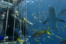 'Shark Week' rammer de danske tv-skærme for 30. år i træk