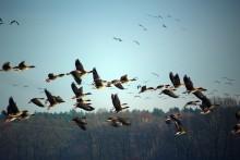 Fortsatt hög risk för fågelinfluensa i Sverige