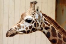 Nyanländ giraff på Borås Djurpark