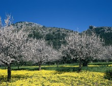 Schnell den Frühling buchen - Mandelblüte auf Mallorca hat schon begonnen
