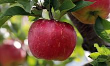 Der Biss in den Apfel bestimmt noch heute die Zukunft der Erde. Auseinandersetzung mit Lebensmittelqualitäten zum Welternährungstag
