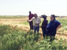 Snabbväxande durumvete för hett klimat får innovationspris