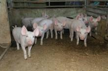 Ovanlig salmonellatyp påvisad hos gris i Skåne