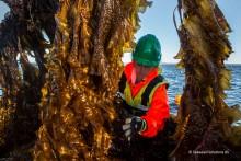 Tare på ferde - kan taredyrking være farlig for kystmiljøet?