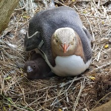 Protecting endangered, Yellow-eyed penguins from fatal infections