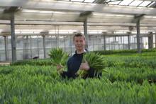 Tulpanproduktionen slår nya rekord - nu över 160 miljoner svenskodlade tulpaner