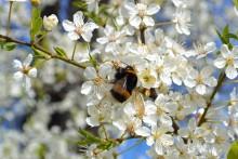 Unik studie: ännu inga tecken på att odlade humlor hotar vilda