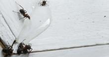 Nå kryper mauren inn i huset – disse tegnene bør du se etter