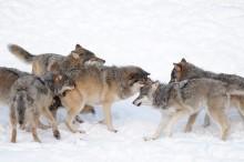 Naturvårdsverket sätter stopp för vargjakt 2019