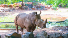 EXPERT COMMENT: Even zoos can no longer protect rhinos from poachers