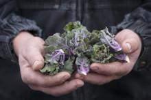 Flower Sprout® (Kalettes®), den oumbärliga grönsaken för julfirandet