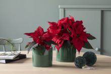 Julestjerne - norges klart mest populære juleblomst