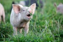 Boom för KRAV-märkta grisar ger 5-årsavtal