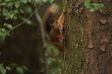 Adorable footage shows baby red squirrel taking first steps back into the wild