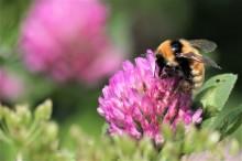 Mjölkbönder sår blommor för humlor och bin