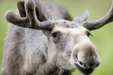 Träning i vilthägn bör leva upp till djurskyddslagens krav