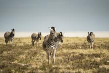 Natursköna djurbilder för att lyfta utrotningshotade arter i Namibia