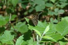 Fjärilar som slåss – motivationen avgör utgången