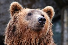 Wieder ein Bär in Bayern! Gothaer übernimmt Kosten für Schäden an Nutztieren