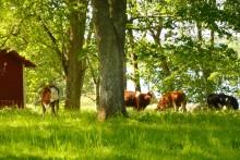 Ekologiskt kött från sörmländska mjölkgårdar - ett samarbete som ger mersmak
