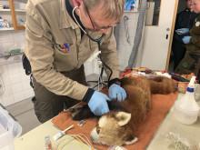 Röda pandan återfunnen