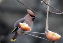 Kommer vi få se ovanliga arter i Sveriges största fågelräkning?