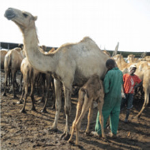 Chr. Hansen and Kenyan enterprise develop camel cheese recipes