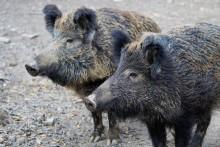 Afrikanische Schweinepest erreicht den Barnim