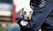 Vid hundköpet – att hämta valpen