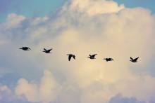 Fortsatt viktigt att skydda tamfåglar mot fågelinfluensa